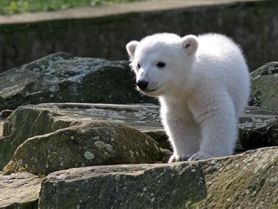 Młody niedźwiadek Knut w berlińskim ZOO (2007); CC BY-SA 2.0; Wikipedia
