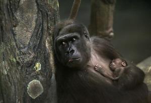 Koola, 18-letnia gorylica nizinna, trzyma swoje nowonarodzone gorylątko.