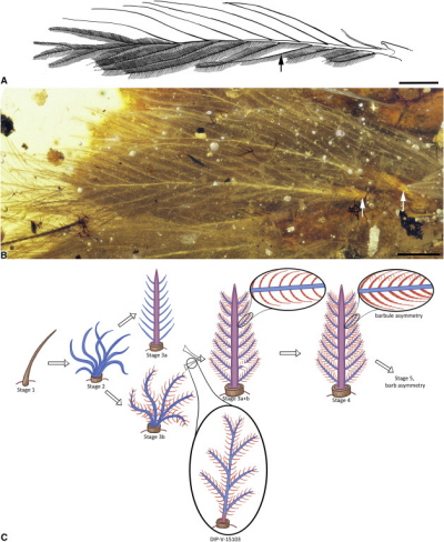 DIP-V-15103 Structural Overview and Feather Evolutionary-Developmental Model Fit (A and B) Overview of largest and most planar feather on tail (dorsal series, anterior end), with matching interpretive diagram of barbs and barbules. Barbules are omitted on upper side and on one barb section (near black arrow) to show rachidial barbules and structure; white arrow indicates follicle. (C) Evolutionary-developmental model and placement of new amber specimen. Brown denotes calamus, blue denotes barb ramus, red denotes barbule, and purple denotes rachis [as in 5, 12]. Scale bars, 1 mm in (A) and (B).