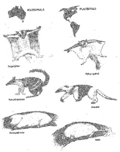 Adaptacyjna radiacja i konwergencja u torbaczy australijskich (Rys. 20 z Ewolucja jest faktem © Kapi Monoyios).