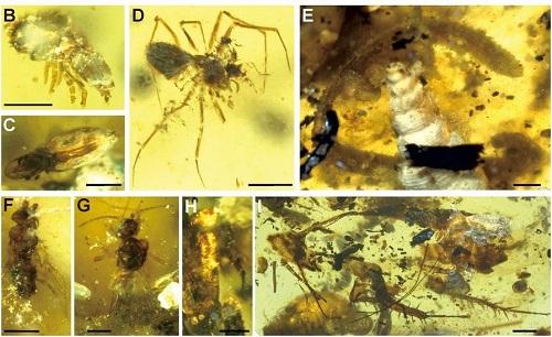 <span>Amber inclusions. (B) Acari: Phthiracaridae. (C) Acari: Euphthiracoidea. (D) Araneae: Oonopidae. (E) Diplopoda. (F) Diptera: Phoridae. (G) Hymenoptera: Chrysidoidea. (H) Coleoptera. (I) Blattodea. (Scale bars, 1 mm in E and H. Scale bars, 0.5 mm in B–D, F, and G. Scale bar, 2 mm in I.)</span>