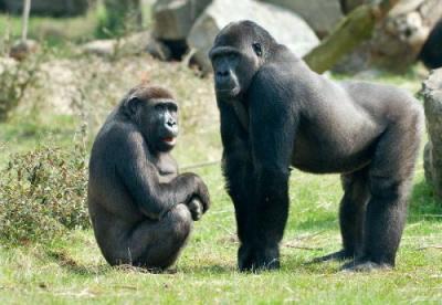 Samiec i samica goryla. Samice ważą mniej więcej o połowę mniej niż samce.