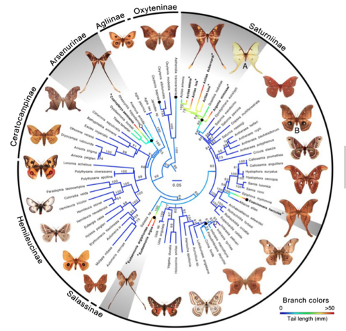 ML molecular phylogeny of saturniid moths showing multiple independent origins of hindwing tails. Filled black circles indicate origin of tails. Open circles indicate losses. Branch colors indicate length of hindwing tail from absent (blue) to >50 mm (red), based on Phytools continuous character evolution analyses. Numbers by branches are bootstrap values. Gray shading denotes groups that have spatulate tails and contain species with tail lengths greater than 37.5 mm (the average for A. luna, n = 10). The images of saturniid moths used in these experiments are labeled: (A) A. luna and (B) A. polypheumus. Bold type and asterisks denote species that have tails longer than 37.5 mm. In combination with our bat–moth interaction data, this phylogeny suggests that tails serving a clear anti-bat function have evolved 4 times. Three additional origins of very short tails, of uncertain function, are also apparent.