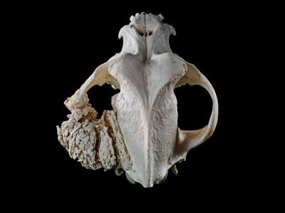 <span>Kostniakomięsak psiej czaszki; Michael Frank, Royal Veterinary College, CC BY-NC 4.0,</span>https://wellcomecollection.org/works/zdb6h3sb