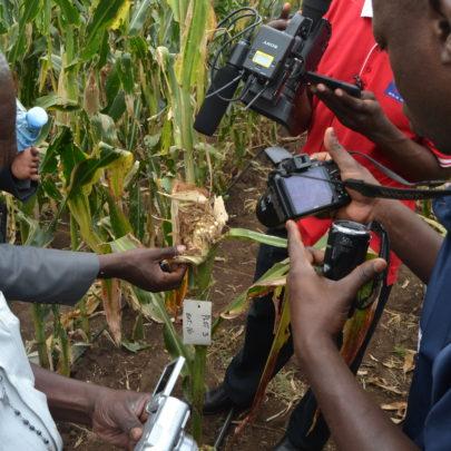 Dziennikarze oglądają kukurydzę zniszczoną przezPapaipema nebris
