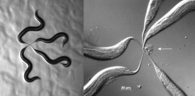 …robaki zaczęły sklejać się ogonkami (strzałka pokazuje tworzący się z ogonków węzeł); CC BY 3.0; http://www.ncbi.nlm.nih.gov/pmc/articles/PMC3898767/