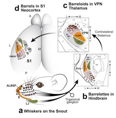 Ilustracja z Zembrzycki et al. Nature Neuroscience, Sierpień 2013, doi:10.1038/nn.3454