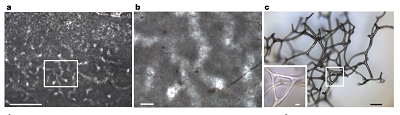 (From Fig. 2 of the paper): a, Well-preserved vermiform microstructure exhibits a polygonal meshwork of anastomosing, slightly curved, approximately 30-μm-diameter tubules embedded in calcite microspar (KEC25). Scale bar, 500 μm. b, Enlarged rectangle from a, showing branching tubules forming three-dimensional polygons intersected at various angles by the thin section; clear calcite crystals, about 10–20 μm in width, fill tubules in groundmass of more finely crystalline calcite (dark grey). Scale bar, 50 μm. c, Three-dimensional fragment of spongin skeleton from a modern keratosan sponge, illustrating its branching and anastomosing network of fibres (incident light). Scale bars, 100 μm (main panel), 20 μm (inset).
