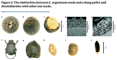 a–c, Vertical (a) and side (b) views of a C. argenteum seed as well as one that has been cracked open (c) showing the endosperm and thick woody inner seed-coat layer and the outer tuberculate layer which together form the husk. d,e, Scanning electron microscopy (SEM) of the outer, tuberculate layer and inner seed-coat, with white silicon granules at the boundary between the two layers. f, E. flagellatus. g, Bontebok faeces. h,i, Vertical (h) and side (i) views of an L. sessile seed. j, Cannomois grandis seed with white elaiosome.