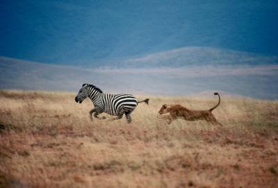 Lwica goni zebr� w parku narodowym Serengeti w Tanzanii.Zdj�cie: Mitsuaki Iwago, Minden Pictures/National Geographic