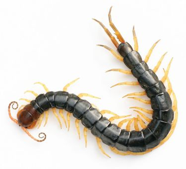 <span>Scolopendra subspinipes mutilans, Yasunori Koide, Wikipedia, </span>https://en.wikipedia.org/wiki/Chinese_red-headed_centipede