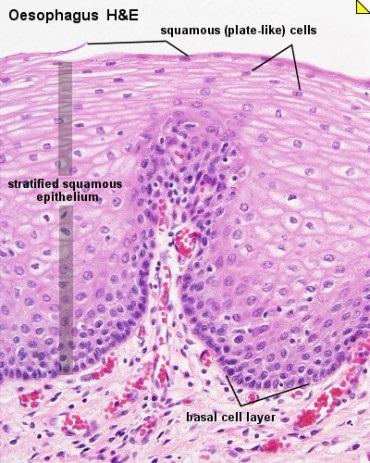 <span>Nabłonek wielowarstwowy płaski przełyku, pod nim drobne naczynia krwionośne błony śluzowej (wypełnione czerwonym krwinkami); Lutz Slomianka,</span>http://www.lab.anhb.uwa.edu.au/mb140/corepages/epithelia/epithel.htm#Stratified
