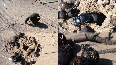 (a) Epirinus flagellatus rolling a Ceratocaryum argenteum seed; (b) Scarabaeus spretus rolling a seed (the arrow indicates a Sphaerocerid Lesser Dung Fly); (c) the large hole made by Scarabaeus spretus for burying several seeds (the arrow indicates the location of the Dung Beetle); and (d) a female Sarcophagid Fly on a seed. Midgley & White (2016).