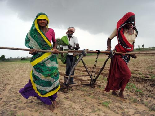 Sam Panthaky/AFP/Getty Images Mimo sensacyjnych nagłówków gazetowych genetycznie modyfikowane uprawy są wielkim dobrodziejstwem dla farmerów w Indiach.