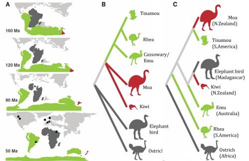 """A) Rozłamanie się Gondwany na odrębne kontynenty. B) Drzewo rodowe strusiowatych, jakie można przewidzieć z hipotezy """"tratwy"""". C) Rzeczywiste drzewo rodowe strusiowatych. Źródło: Mitchell et al, 2014."""