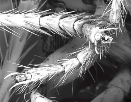 Połączenie mrówek. Zauważ lepkie poduszeczki między nogami. Zdjęcie: Foster et al, 2014. J Exp Biol.