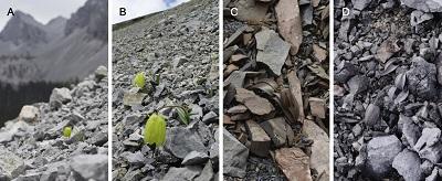 Plant Color Variation ofFritillaria delavayiamong Populations