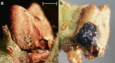 <span>(Fig. 1 from paper). Blindfolding of</span>B. betularia<span>larvae. a Final (sixth) instar</span>B. betularia<span>control caterpillar showing ring of five ocelli circled in yellow, and sixth ventral ocellus circled separately. b Example of a final instar larva with ocelli obscured by opaque black acrylic paint. Scale bar represents 1mm</span>