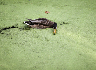 ZNew York Times: Rzęsa wodna i kaczka na stawie w Niemczech. CreditCreditKay Nietfeld/DPA, via Getty Images