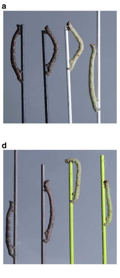 <span>(From paper) Blindfolded and control</span>B. betularia<span>larvae from achromatic and chromatic dowel treatments.</span>a<span>Examples of final instar blindfolded (first and third from left) and control (second and fourth from left) larvae on black and white treatment dowels. . . . d Examples of final instar blindfolded (two outermost) and control (two innermost) larvae on brown and green treatment dowels</span>