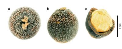 (Z artykułu): a–c, widok pionowo (a) i z boku (b) nasion C. argenteum, jak również jednego, które zostało otwarte (c), pokazując bielmo i grubą, zdrewniałą wewnętrzną otoczkę nasienia oraz zewnętrzną, gruzełkowatą warstwę, które razem stanowią łupinę .