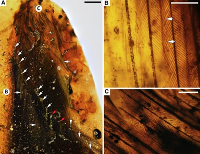 <span>(From paper): (A) Overview of primary and secondary feather exposure at polished edge of amber piece, with inclined arrows marking primary rachises (P1 and P2 weakly distinguished from secondaries and marked in red); vertical arrows mark secondaries; horizontal arrows mark pale areas in wing; and lettered circles mark positions of (B) and (C). (B) Weakly pigmented reduced barbules from primary barbs in leading edge of wing. (C) Dark brown barbules from primary barbs in base of posterior vane of primary. Scale bars, 2 mm in (A); 0.25 mm in (B) and (C). See also Figures S1 and S2.</span>