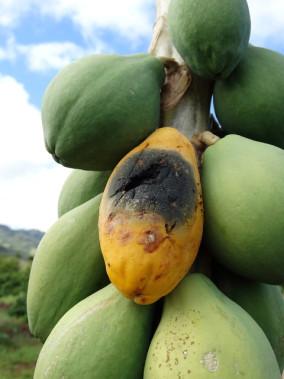 <span>Zagrzybiona przez naszego gagatka papaja; Scot Nelson, domena publiczna,</span>https://www.flickr.com/photos/scotnelson/39219698451/