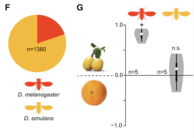 (F) Proportion of D. melanogaster to Drosophila simulans from all collection sites. (G) Violin plots showing oviposition indices (OI) of wild D. melanogaster and D. simulans (color code as per F) provided a choice between traps baited with marula or orange. White circles show the median, and boxes show the 25th–75th percentiles, which are extended by whiskers indicating 1.5× the interquartile range from the 25th–75th percentiles; the shape denotes the density estimate and extends to extreme values. Deviation of the OI against zero was analyzed for significance (∗p < 0.05) with a one-sample Wilcoxon test (p < 0.05).