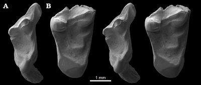 Fig. 4. Stereo scanning electron micrographs of studied eutherian mammal specimens from the Ber riasian Purbeck Group of Dorset, southern England; in occlusal view. A. Durlstotherium newmani gen. et sp. nov., NHMUK PV M 99991. B. Durlstodon ensomi gen. et sp. nov., NHMUK PV M 99992.