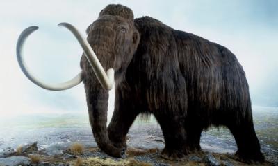 """(Podpis w """"Guardianie"""") Mamut włochaty (Mammuthus primigenius), model wymarłego mamuta z epoki lodowej. Zdjęcie: Andrew Nelmerm/Getty Images/Dorling Kindersley"""