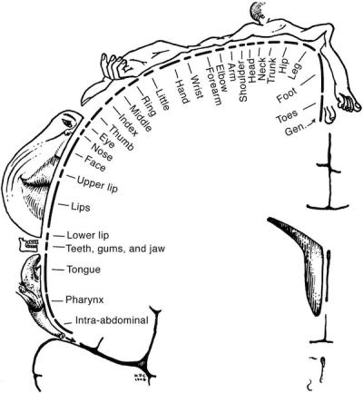 Wilder Penfield's homunkulus. Źródło: http://cercor.oxfordjournals.org/content/23/5/1005.ful