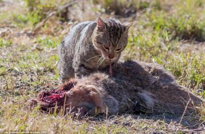 Kiedy zderzają się regiony zoogeograficzne: zdziczały kot w Queensland pożerający zabitego przez samochód kangura, Joe Scanlan via Daily Mail</a>.