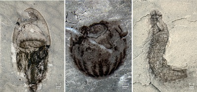 <span>From Allison Daley's news and views: Fossils discovered in the Qingjiang biota include animals rarely seen in the Cambrian rock record, such as jellyfish (left), comb jellies (middle), and kinorhynchs (right).</span>