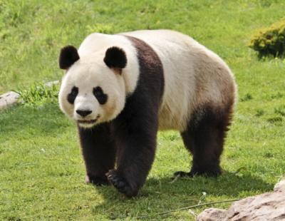 Tutaj jest zdjęcie jednej z nich na wypadek, gdybyście zapomnieli, jak wygląda panda.