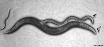 Dorosłe C. elegans w trakcie kopulacji – na górze samczyk, na dole postać dominująca w populacji – hermafrodyta; http://www.wormatlas.org/male/introduction/mainframe.htm