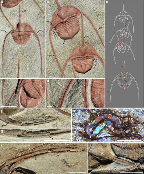 <br /><span>General morphology and parameters of the raphiophorid trilobite</span>Ampyx priscus<span>Thoral, 1935, from the Lower Ordovician (Upper Tremadocian-Floian) Fezouata Shale of Morocco (Zagora area). (a–d) BOM 2481, overall morphology and details of genal spines. (e) Parameters used in measurements. (f,g) MGL 096718, genal spine showing internal mineralized infilling. (h) AA.OBZ2.OI.1, transverse thin section through right genal spine (see general view in Supplementary Fig. 8d). (i) MGL 096727, genal spine. (j) ROMIP 57013, external mould of glabellar and genal spine showing longitudinal ridge. a–d,f,g,i,j are light photographs.</span>
