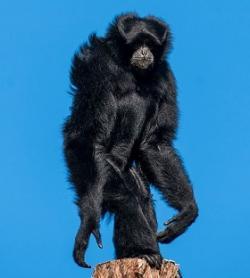Tak, współczesne małpy i my mieliśmy wspólnego małpiego przodka.