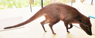 Indohyus<span>(reconstruction)</span>