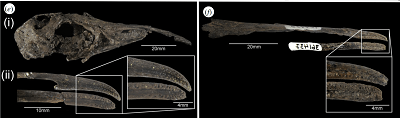 Cranial fossils of two species of lithornithids, showing high degree of pitting on the surfaces of their beaks, similar to all extant palaeognathous birds, potentially indicative of a bony bill-tip organ. (e) Lithornis promiscuus: (i) skull and attached maxilla (USNM 391983) showing the shape of the beak relative to the skull; (ii) distal portions of maxilla and mandible (USNM 336535). ( f ) Paracathartes howardae: maxilla (USNM 404758) and distal portion of mandible (USNM 361437).