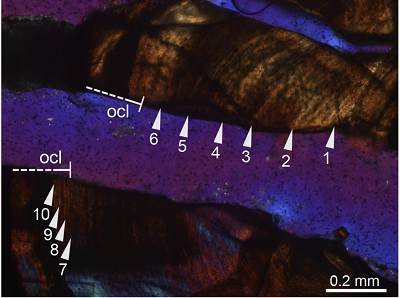 """<span>(From paper): Overview of complete cross-section and close-up of the cortex of the zeugopodial element of PIMUZ T 1277. Image (C) in normal transmitted light; image (D) in cross-polarized light using lambda compensator.</span>JAC<span>: OCL is the """"outer circumferential layer"""", or the outside of the bone.</span>"""