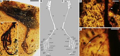 <span>(From paper) A) HPG-15-2 overview, with inset providing greater detail on foot, arrowheads marking different apices of unguals and ungual sheathes where visible, and red arrow marking base of mt III 4 shared with (D). (B and C) Osteological details. (D) Tuft of elongated SSFs near apex of mt III ph 3, with horizontal arrowhead marking edge of reticulae from digital pad, inclined arrowhead marking edge of scute, white arrow marking sloughed reticulae, and red arrow marking base of ungual in (A). (E) Detail of lowermost SSFs in (D), showing hollow cores (arrowheads) and mottled outer walls, presumably due to feather oils. Fe, femur; fi, fibula; lc, lateral condyle; mc, medial condyle; mt, metatarsal and corresponding digit; ph, phalanx; tb, tibia. Scale bars, 5 mm in (A); 1 mm in (A) inset; 0.5 mm in (D); and 0.25 mm in (E). See also Figures S1, S2, and S4.</span>