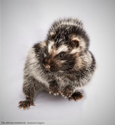 Jest to duży, długo żyjący szczur, który waży do kilograma.