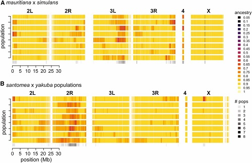 """(From paper): Genome-wide distribution of ancestry in all admixed populations. Heatmaps showing ancestry estimates summarized in 5-kb genomic windows for each chromosome or chromosomal arm in the D. simulans (A) and D. yakuba (B) reference genomes. Each row is a different admixed population and colors reflect ancestry ranging from 0 (fixed for """"minor"""" parent ancestry) to 1 (fixed for """"major"""" parent ancestry). The bottom row summarizes the number of populations that showed evidence of a given genomic window still segregating for both parental species' ancestry (i.e., ancestry estimate < 0.8)."""